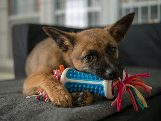 Small brown puppy playing with a small colorful chew toy.