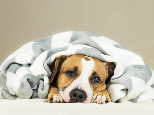 Staffordshire terrier wrapped up in a blanket.
