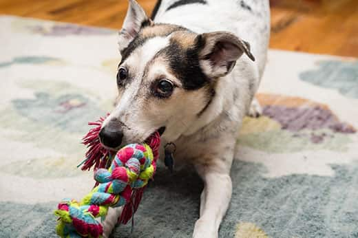 A terrier mix plays tug with colorful rope toy.