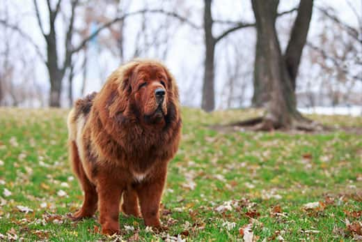 Tibetan Mastiff standing in a park on the grass during fall.