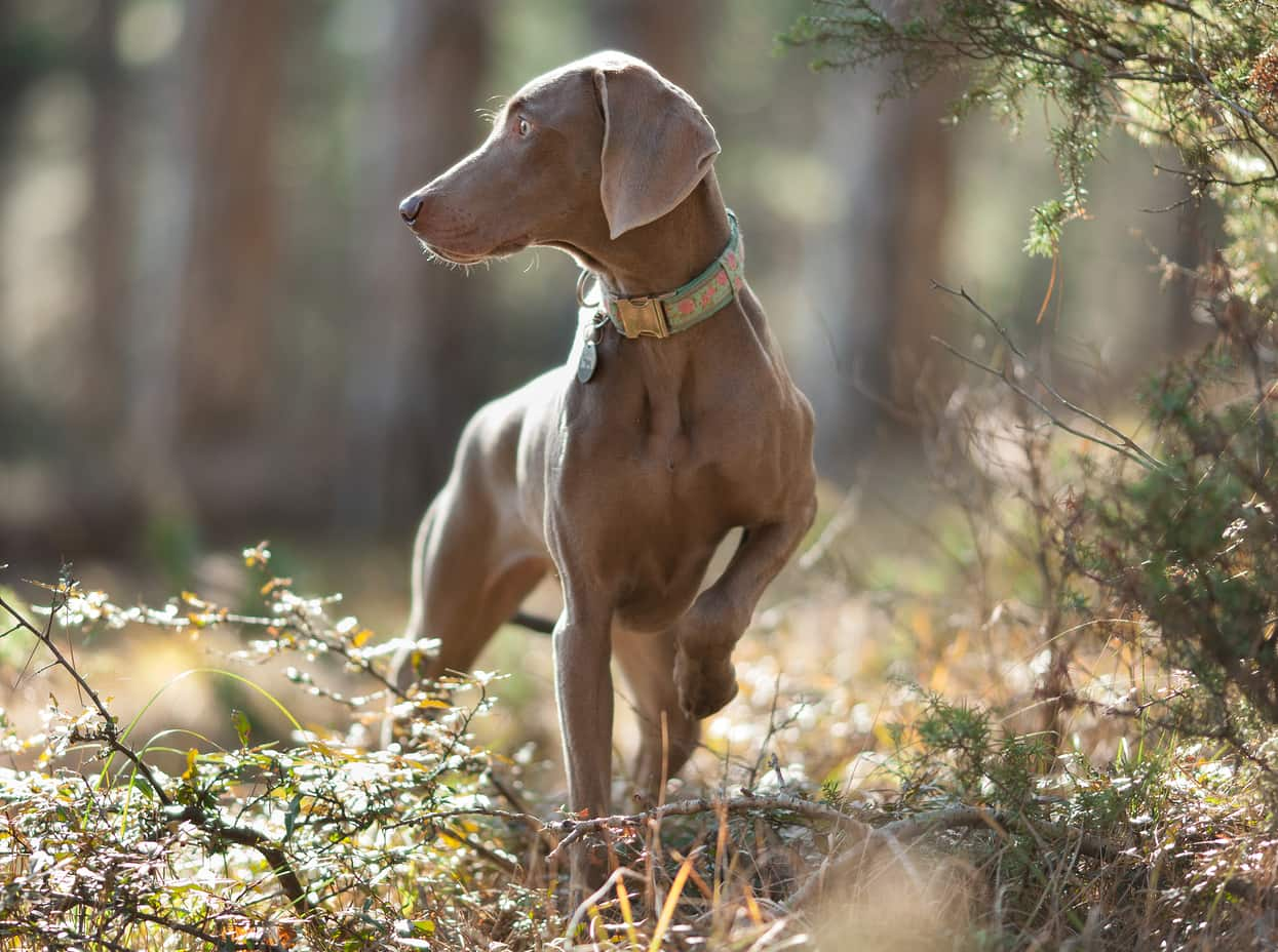 Weimaraner dog pointing on a walk in the sunlit woods