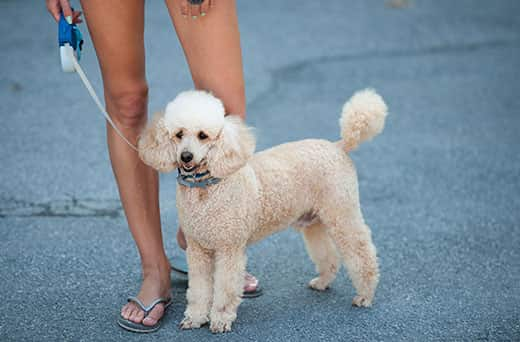 White poodle stands on a leash next to woman's legs.