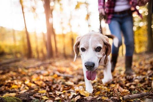 woman walks a beagle through the forest during autumn.
