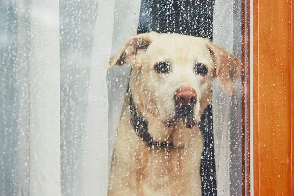 Yellow lab looks out window covered in rain.
