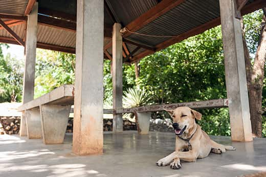 Yellow lab resting in the shade of a shelter house while panting.
