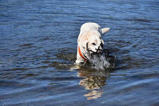Yellow Labrador in blue lake retrieving sticks from under the water.