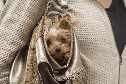 Yorkie pokes head out of a women's tan purse.