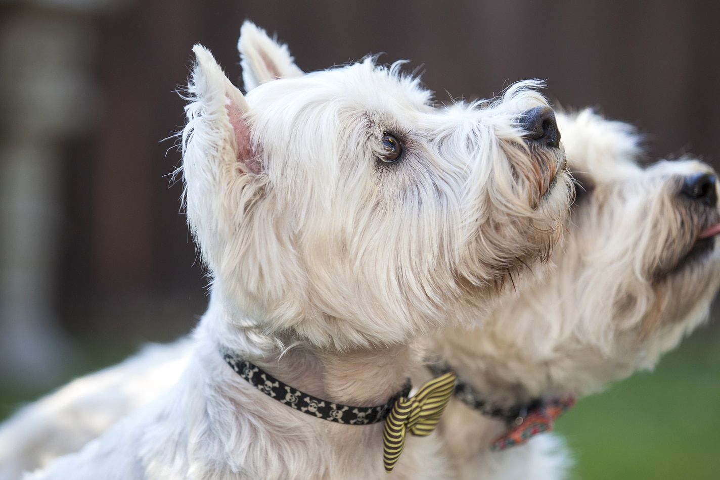 Two West Highland White Terriers looking up outside.