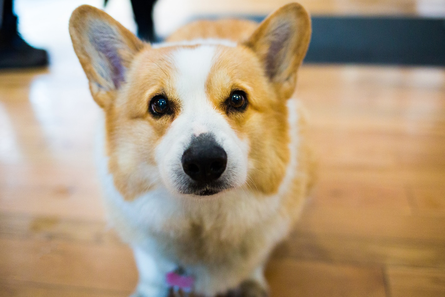 Close-up of corgi on hardwood fllors