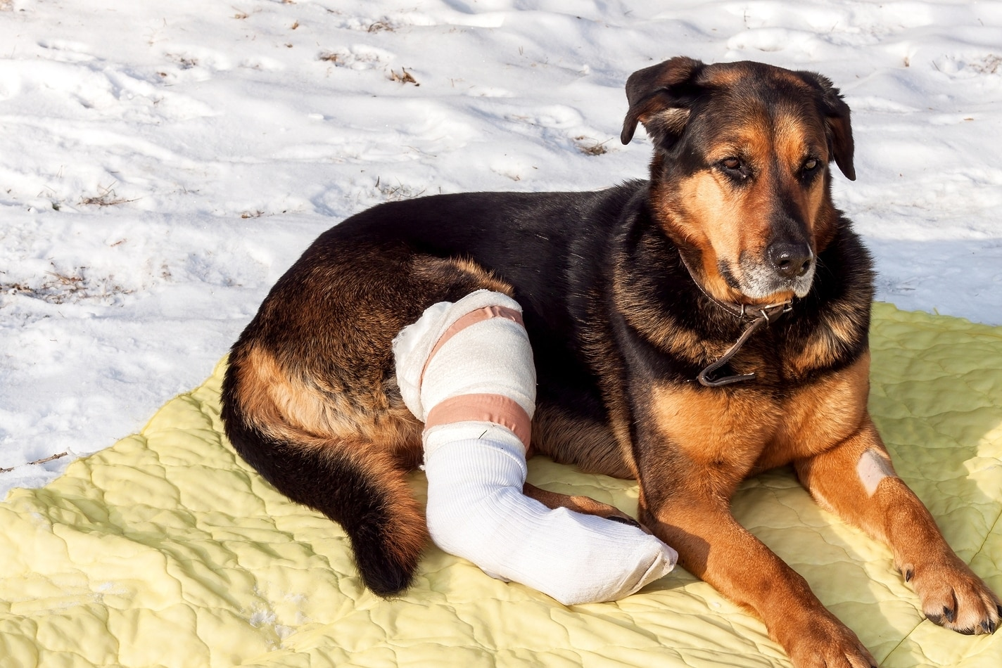 1227dda4c5b7 Dog with broken leg in a cast lies on a yellow blanket in the snow.