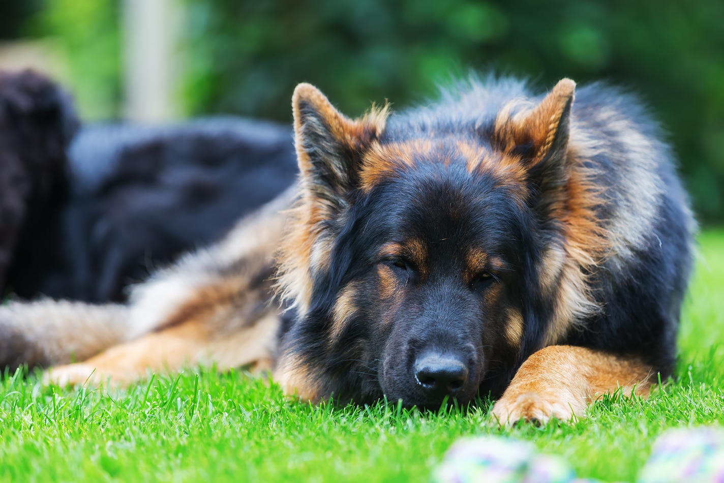 Long-haired black German shepherd lying in the grass.