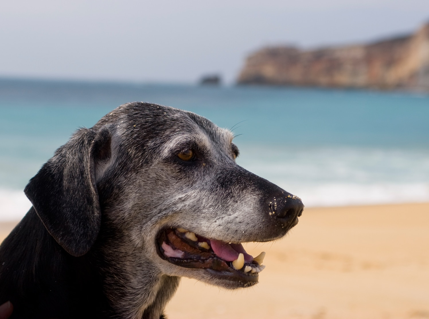 Older black dog with grayed muzzle sits at the beach, ocen in the background.