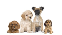 Considerations For Choosing A Puppy Breed Hills Pet