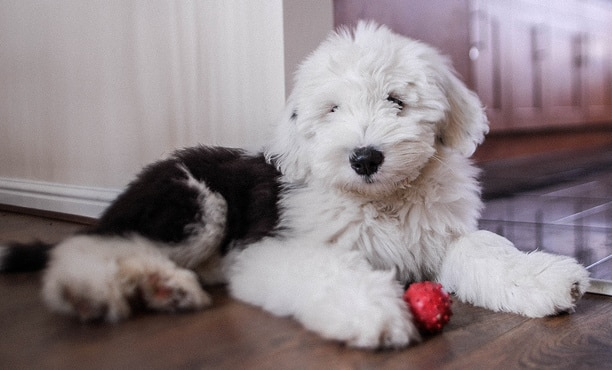Old English Sheepdog puppy sitting on floor with a red ball