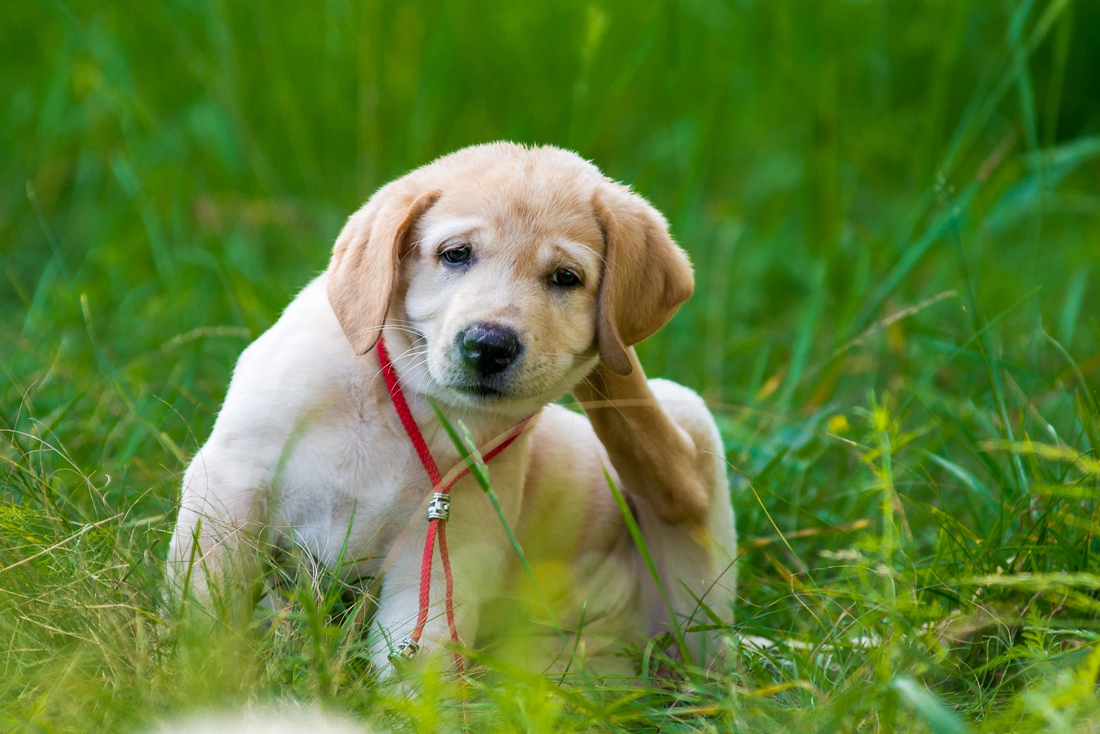 Puppy retriever scratching fleas in the grass
