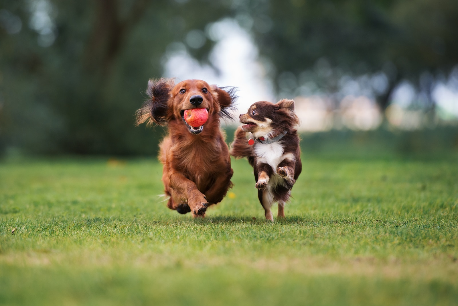 Long-haired dashchund with an apple in his mouth runs, while smaller brown dog runs along side.