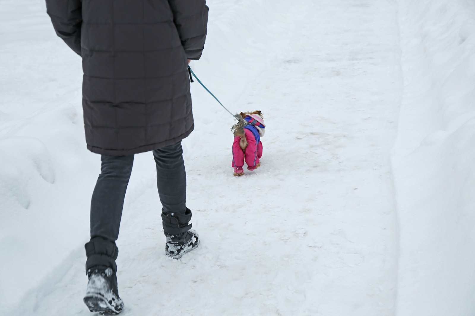Person walking a small dog in a coat on a shoveled sidewalk in winter.