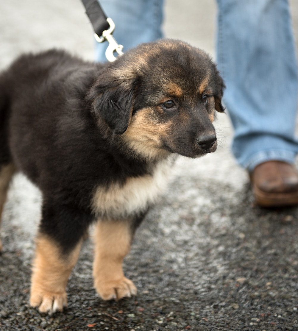 German Shepherd puppy on a leash outside.