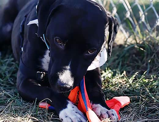 Black and white dog chewing on orange dog toy outdoors.