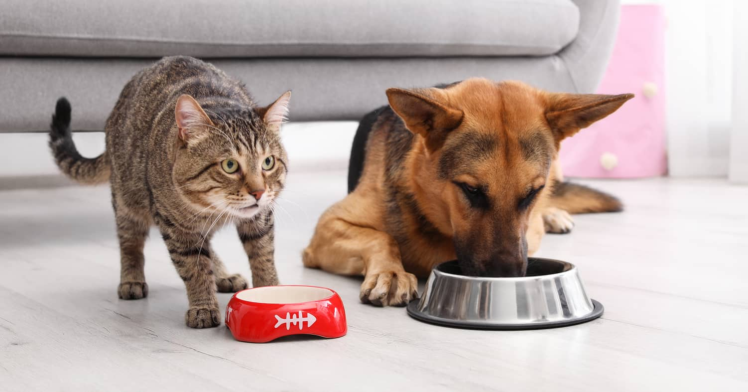 Cat and German Shepherd eating out of separate food bowls in front of couch.