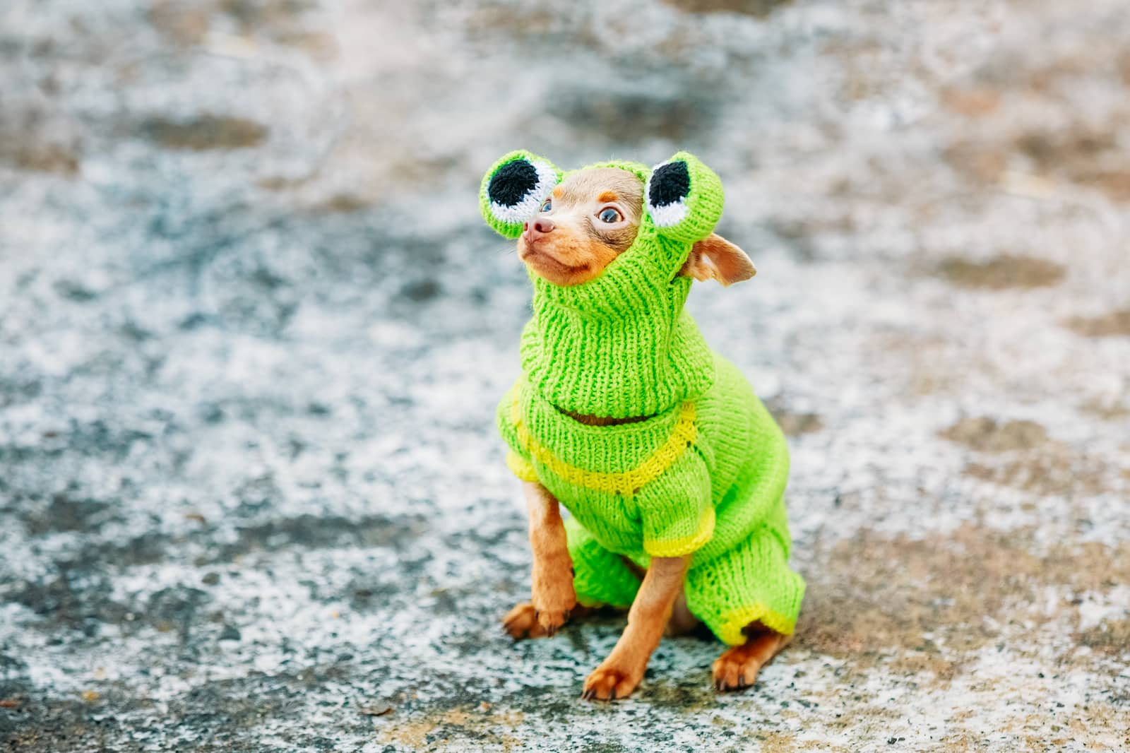 Small, brown Chihuahua dressed in a knitted frog costume.