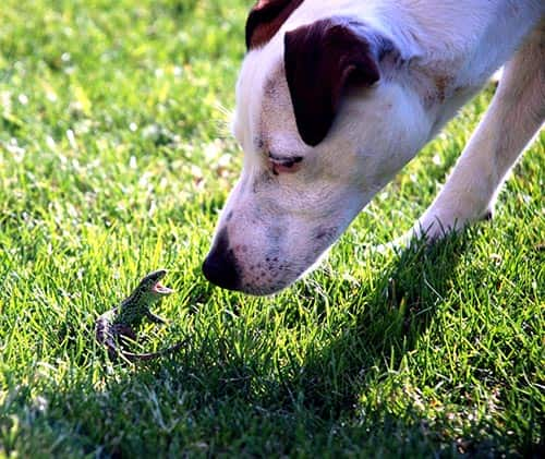 Dog sniffs at a lizard with mouth open in grass.