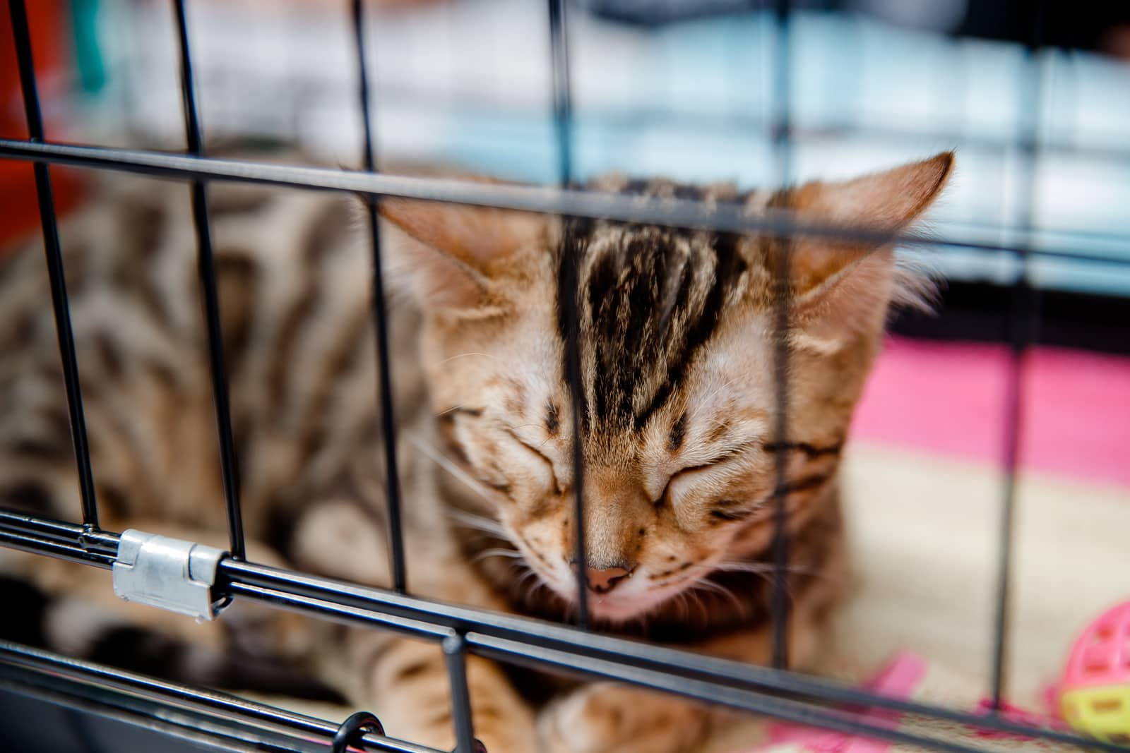 Tabby cat is in cage for transportation and storage in shelter, airport, travel.