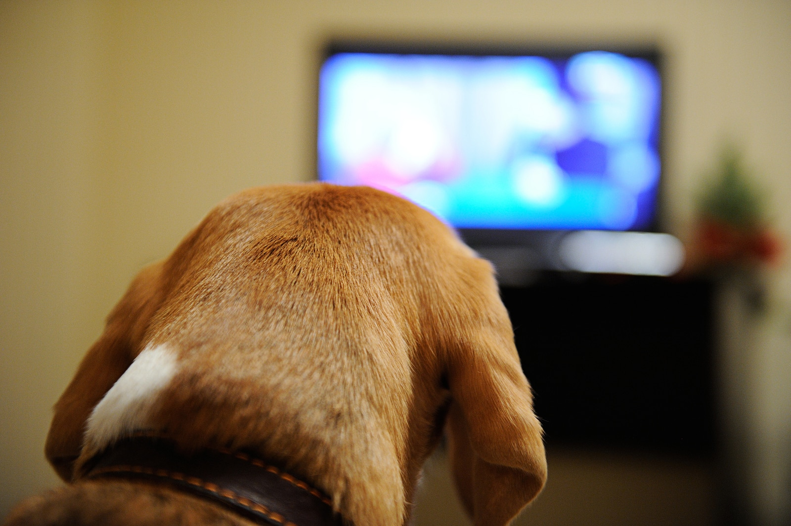 Beagle watching TV sitting on sofa in room