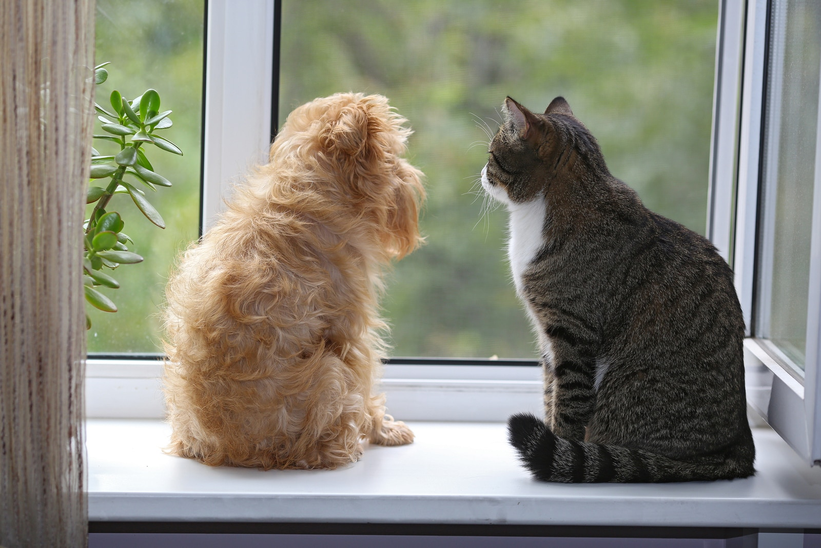 Striped gray cat and blonde long-haired dog sitting on the window sill staring outside together.
