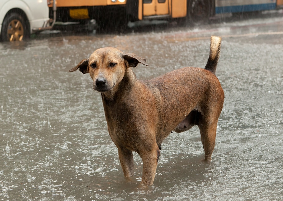 Brown dog stands in flood waters of an empty street with van and bus in background