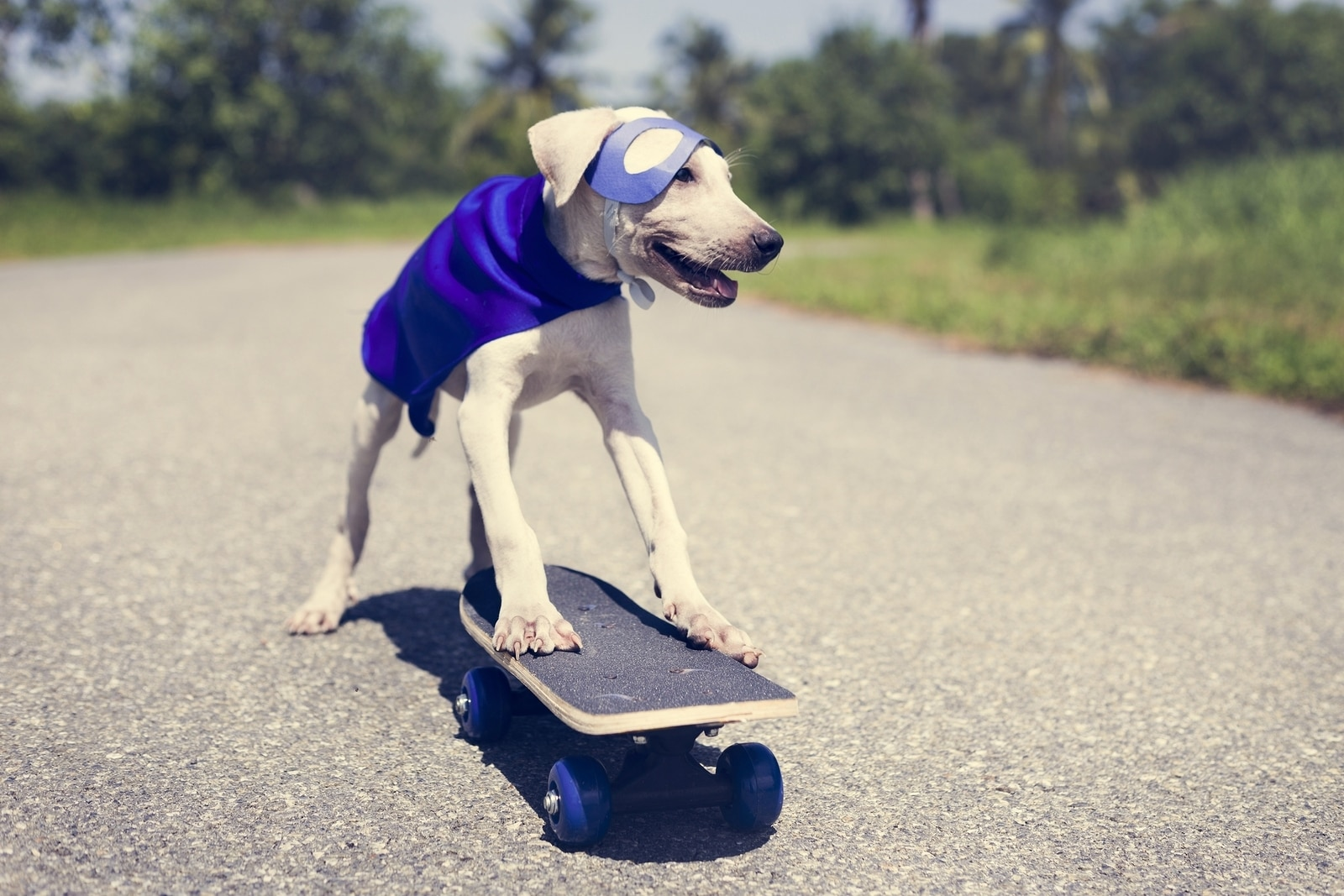 Yellow lab pup, dressed like a superhero with purple cape and mask riding a skateboard.