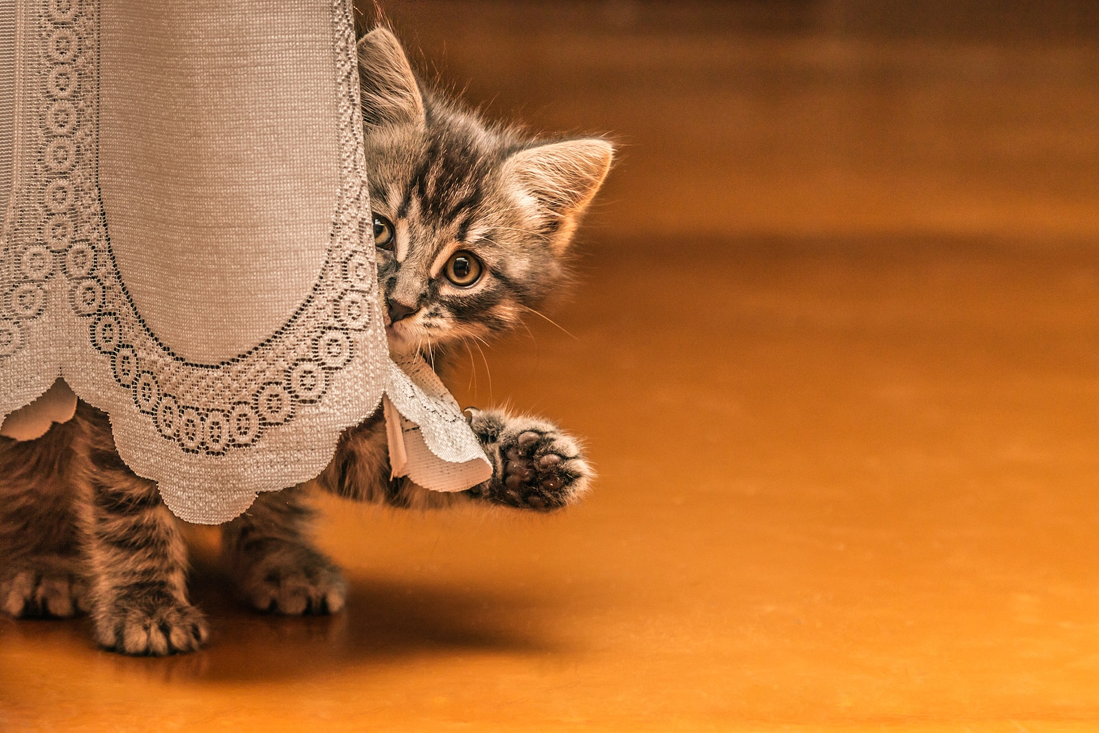 Little tabby kitten hiding behind a table cloth with paw out.