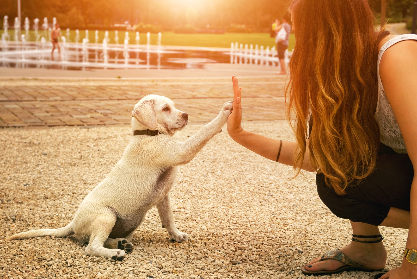 Yellow lab puppy and woman high-fiving in park at sunset.
