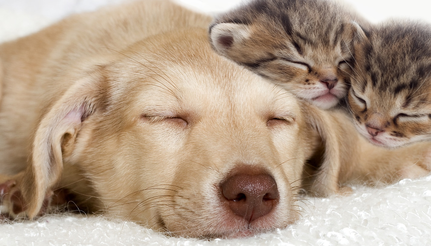 Yellow lab puppy and a kittens sleeping together