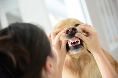 Woman examines golden retriever's teeth and gums.