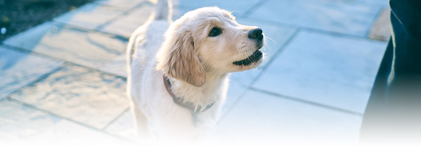 Puppy training obedience training tips and advice hills pet introducing your puppy to a crate is an important step early in development learn how to make crate training more effective ccuart Gallery