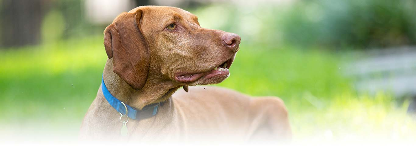Vizsla Dog Breed - Facts and Personality Traits | Hill's Pet