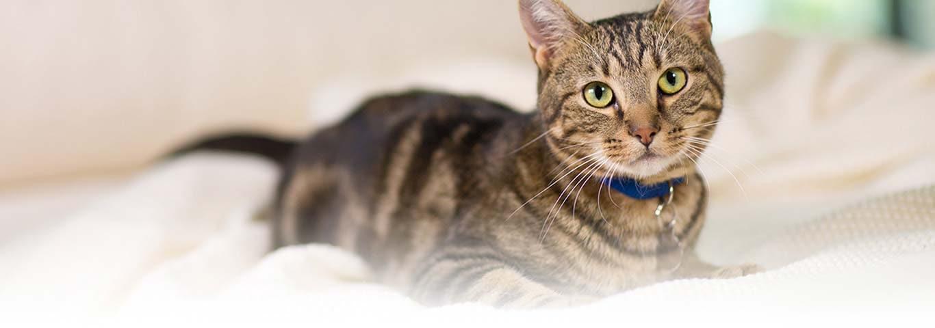 Feline Gastrointestinal Disorders Stomach Sensitivity