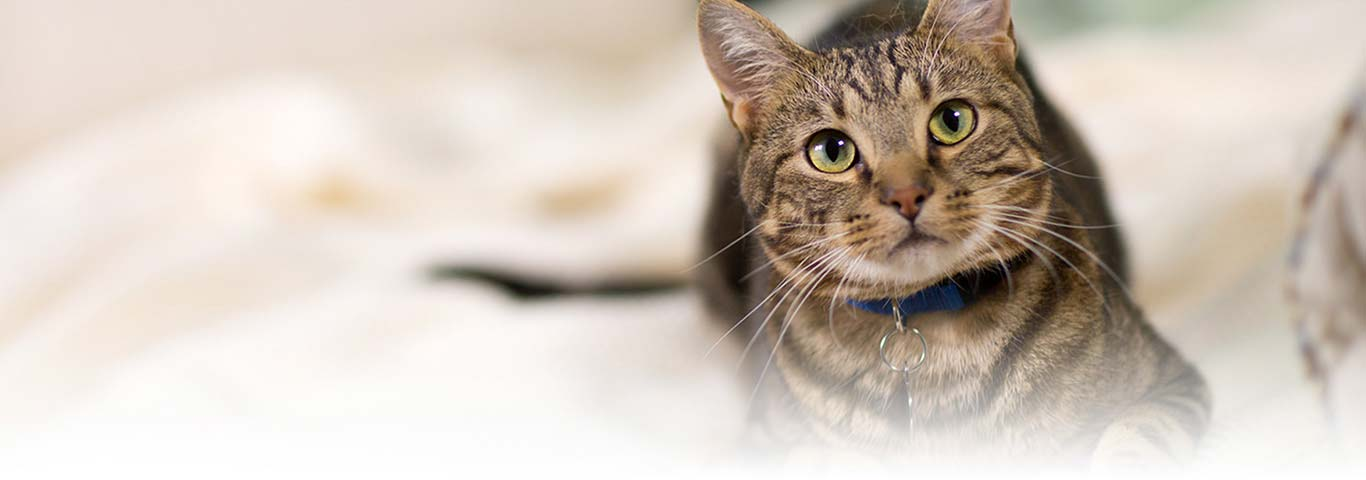 Cats Specialized Anatomy Quick Overview Hills Pet