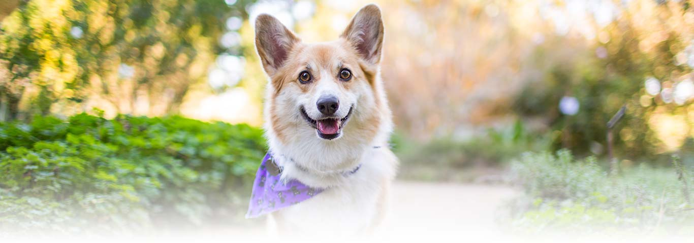 Pembroke welsh corgi dog breed facts and traits hills pet altavistaventures Image collections