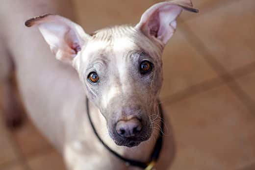 Close-up of an American hairless terrier dog.