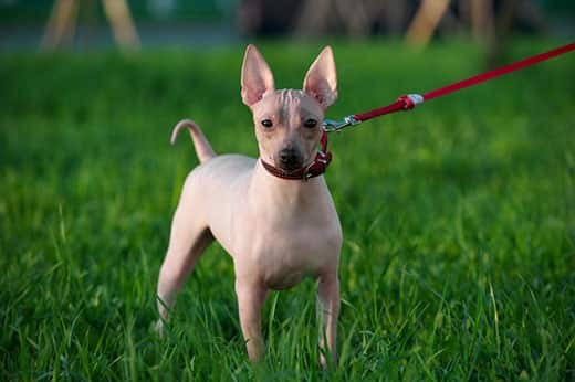 American Hairless Terrier with red leash standing on green lawn background in evening light.