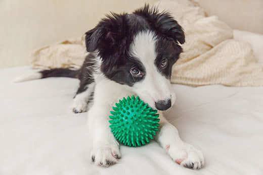 Black and white border collie puppy chewing on green ball.