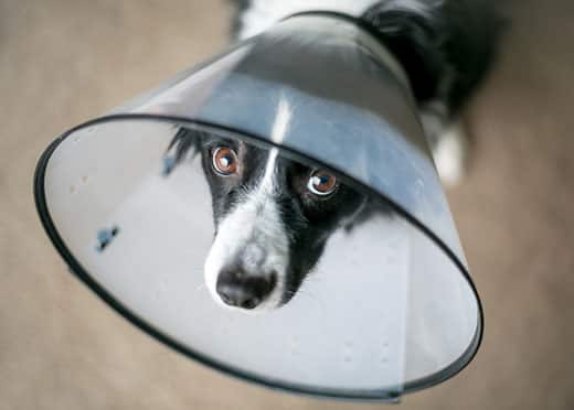 A Border Collie dog wearing a protective Elizabethan collar after surgery