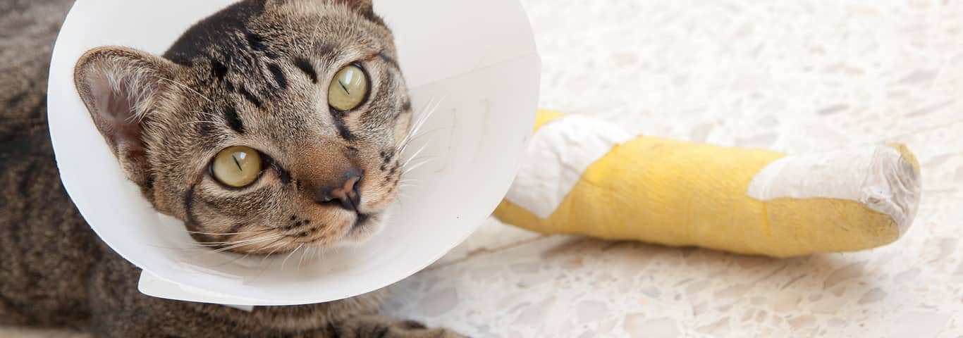Why Is My Cat Limping? | Hill's Pet