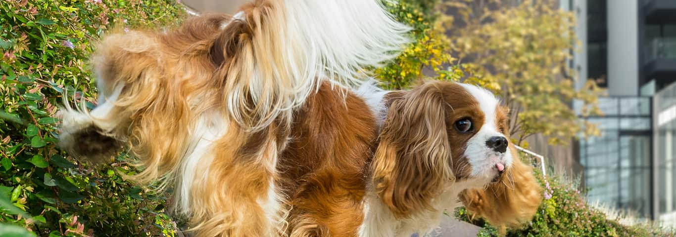 Managing Dog Constipation or Not Peeing | Hill's Pet