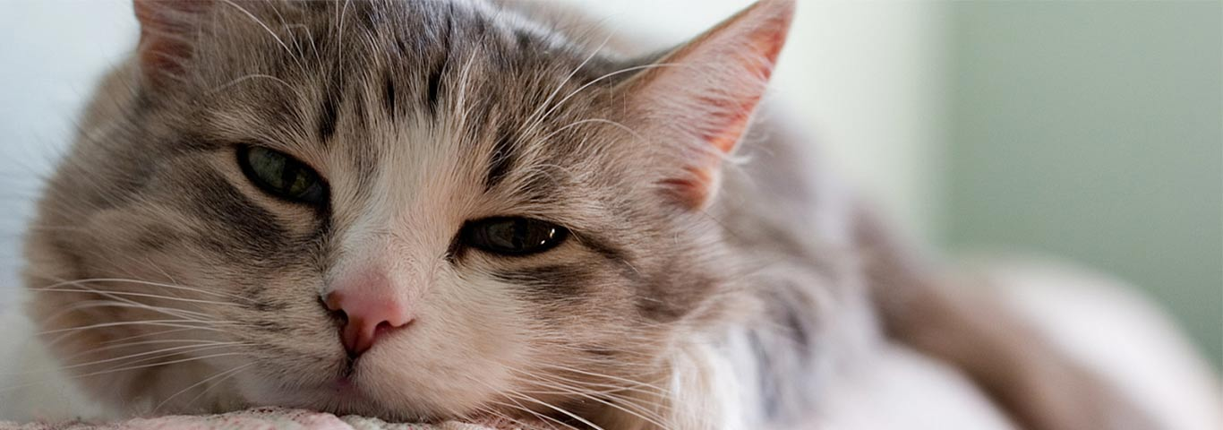 Discover if Your Cat is Hiding Its Pain or Discomfort