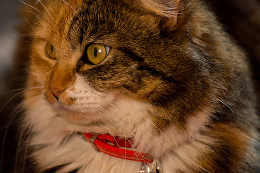 Close-up of a long-haired cat wearing a red collar.