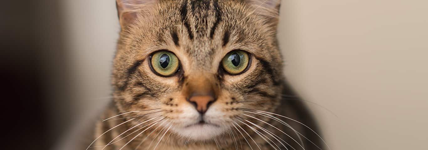 Cat Urinary Health Conditions   Hill's Pet