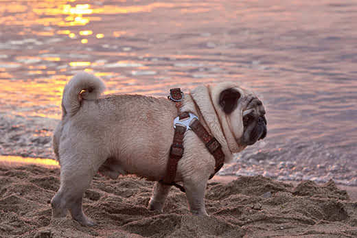 Cream-colored pug in harness walking on a beach at sunset.